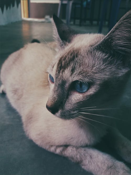 Siamese Cat Lying on the Floor Photo