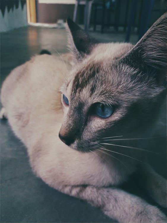Siamese Cat Lying on the Floor Photo