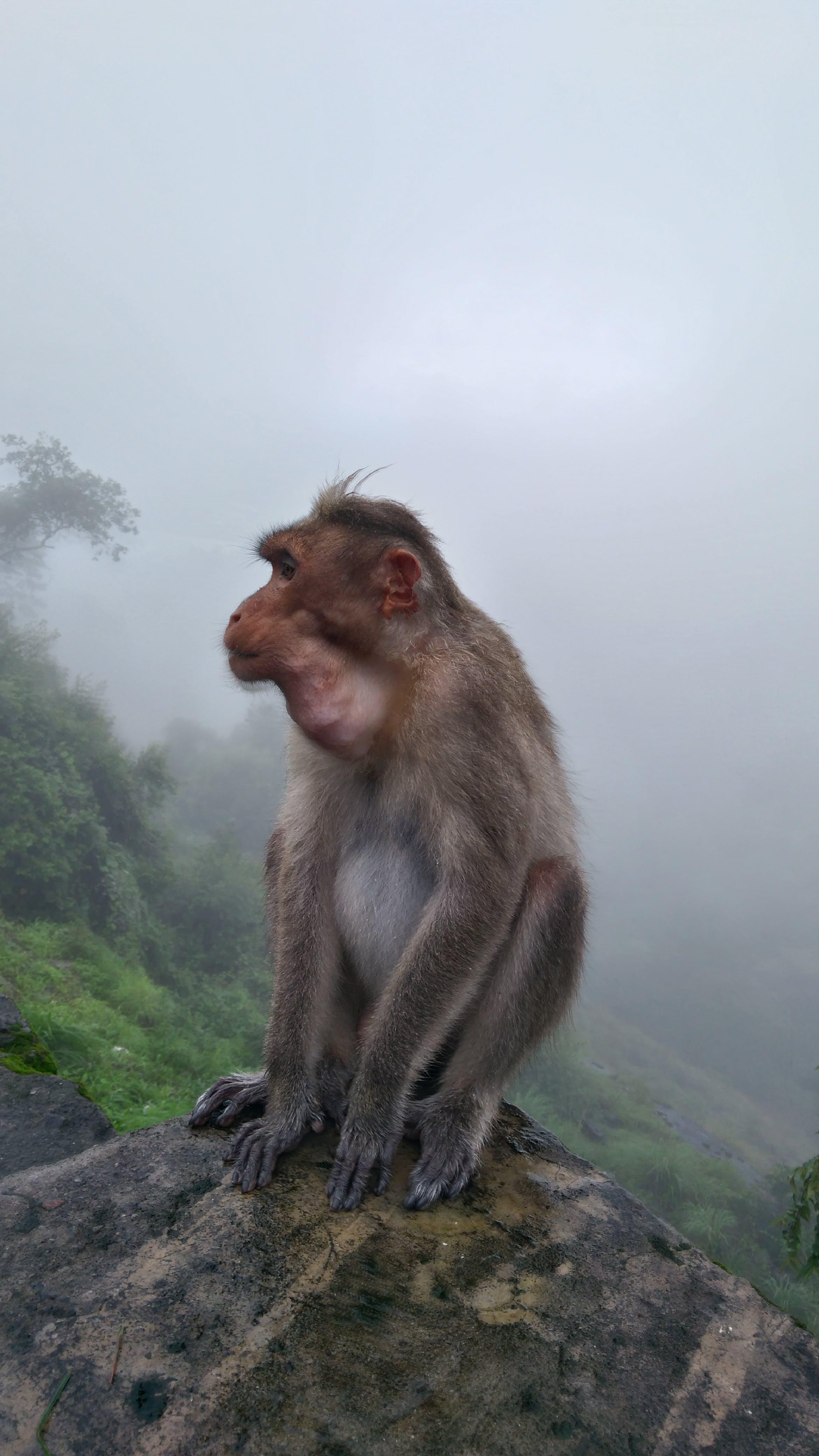 Free stock photo of monkey, monkey mountain, monkey sitting