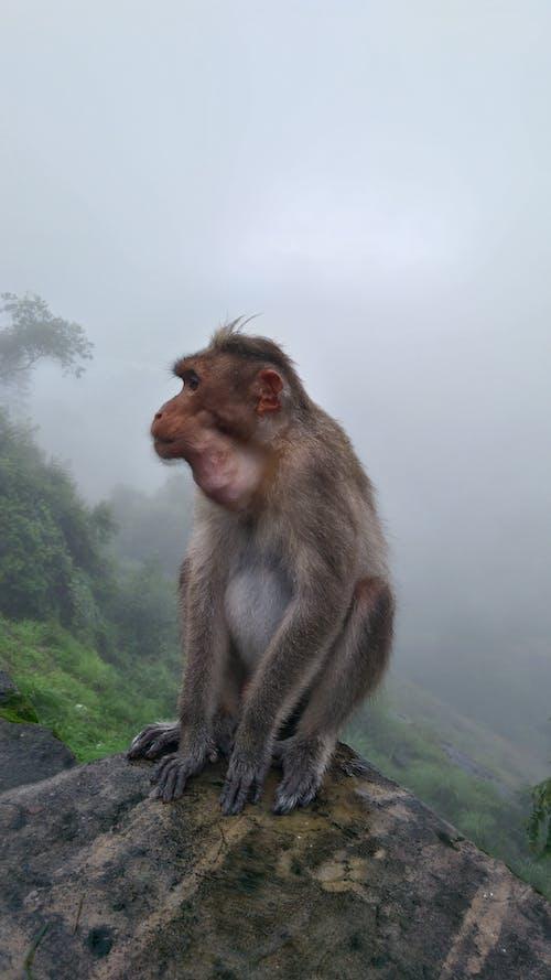 Fotos de stock gratuitas de Monkey Mountain, mono, mono sentado