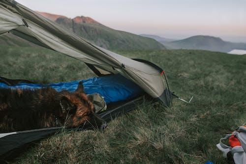 哺乳動物, 天性, 山, 帳篷 的 免费素材照片