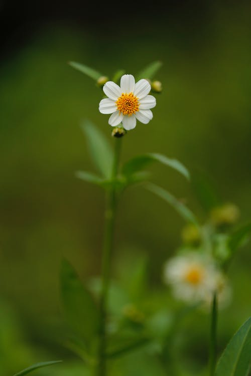 White Chamomile Flower Selective Focus Photography