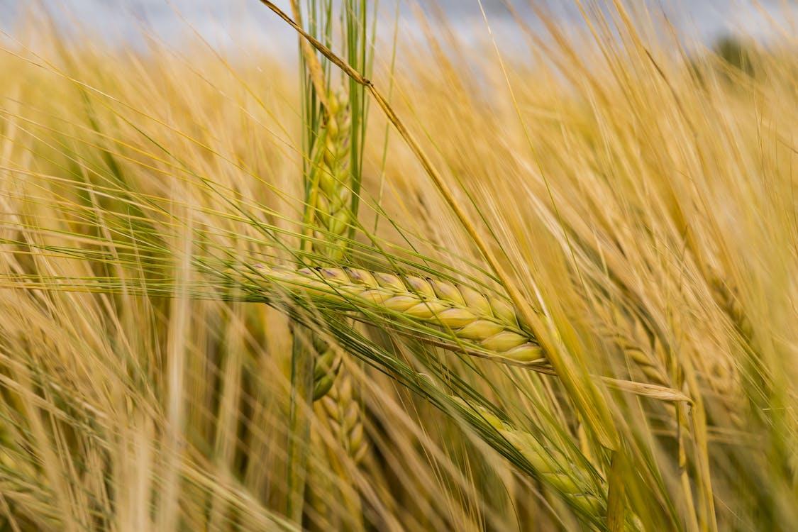 cánh đồng, Cánh đồng ngô, cỏ
