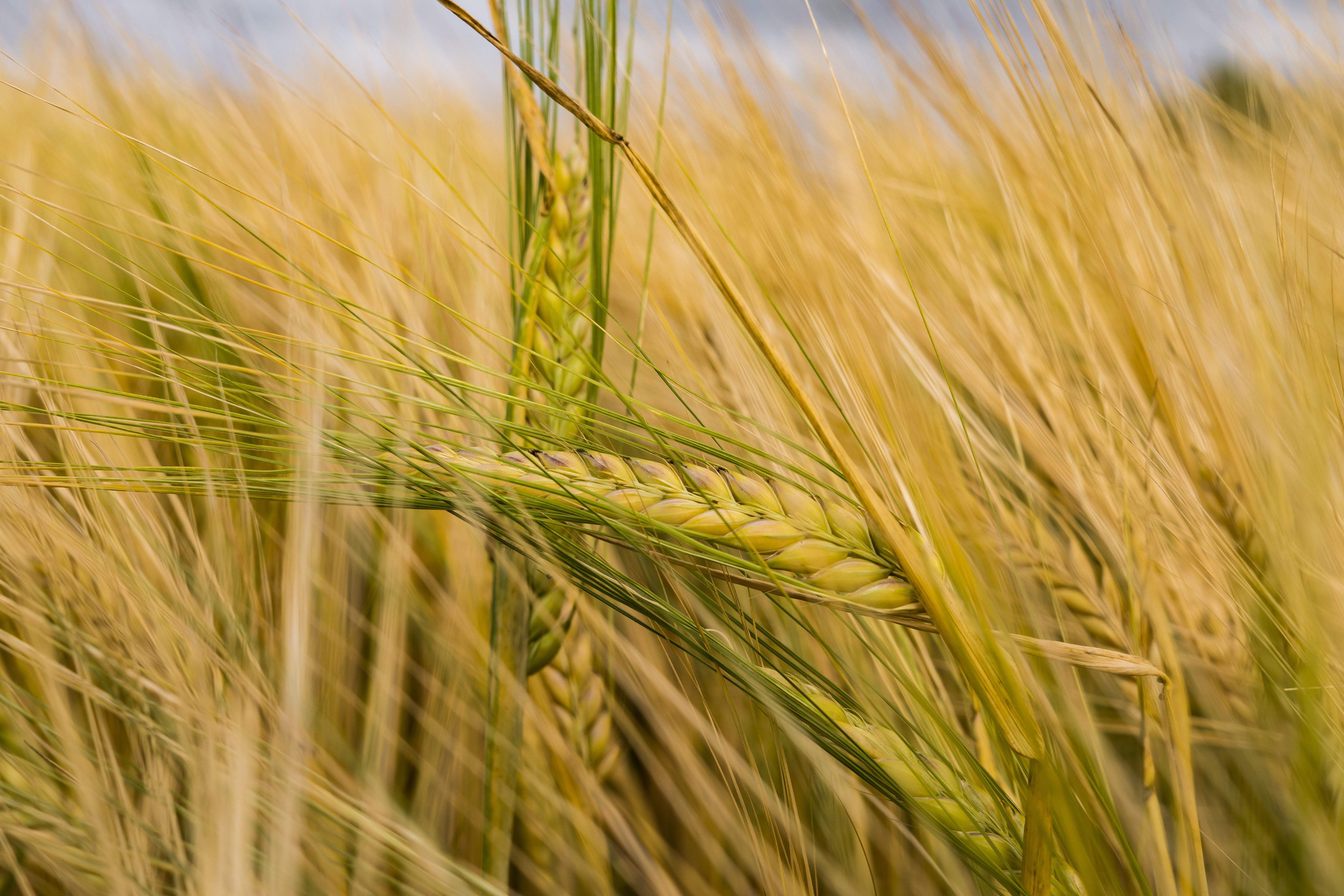 Selective Focus Photography Of Brown Barley 183 Free Stock Photo