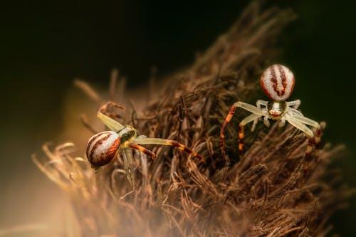 Fotos de stock gratuitas de arácnido, araña, araña cangrejo vara de oro