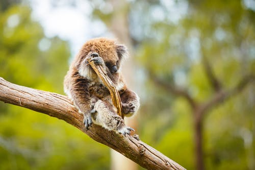 Selective Focus of Koala Seated on a Tree Branch
