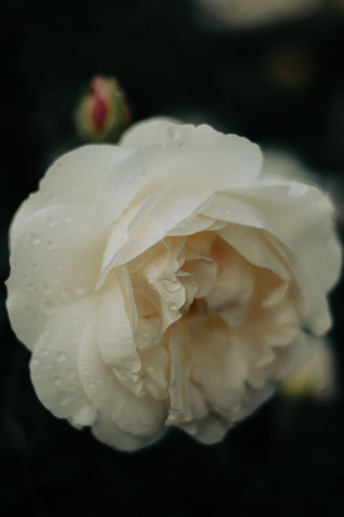 White Rose in Bloom Close Up Photo
