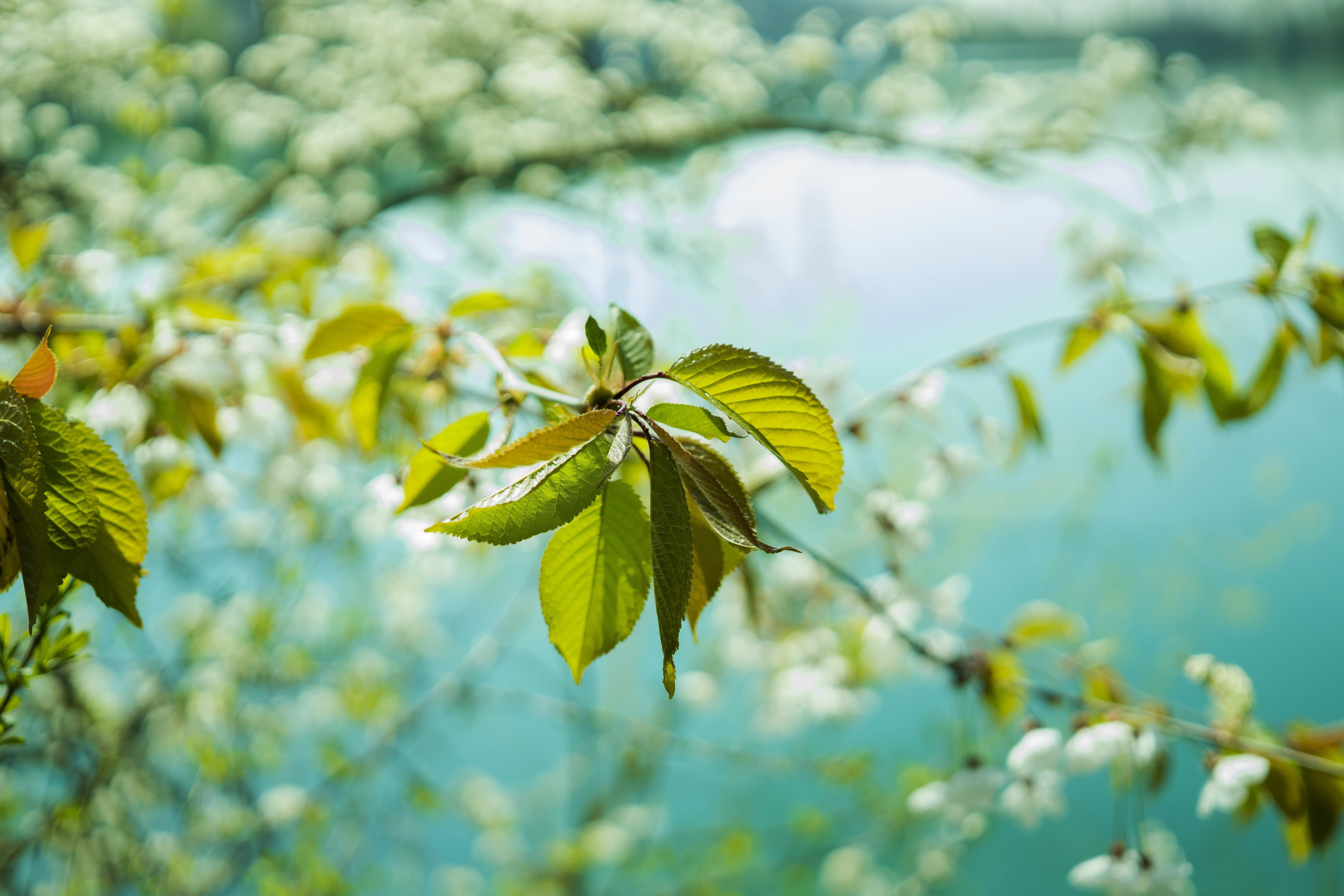 Cherry Blossom Tree Near Lake in Close Up Photography