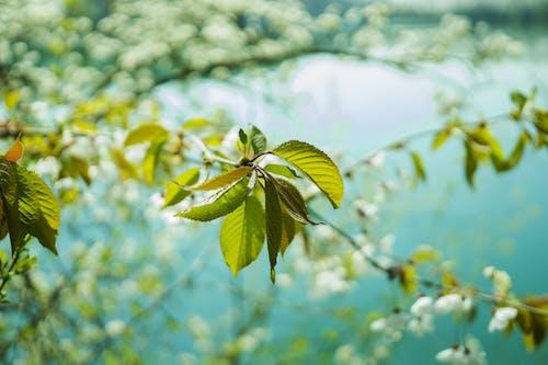 Ingyenes stockfotó ágak, cseresznyevirág, elmosódott háttér, fa témában
