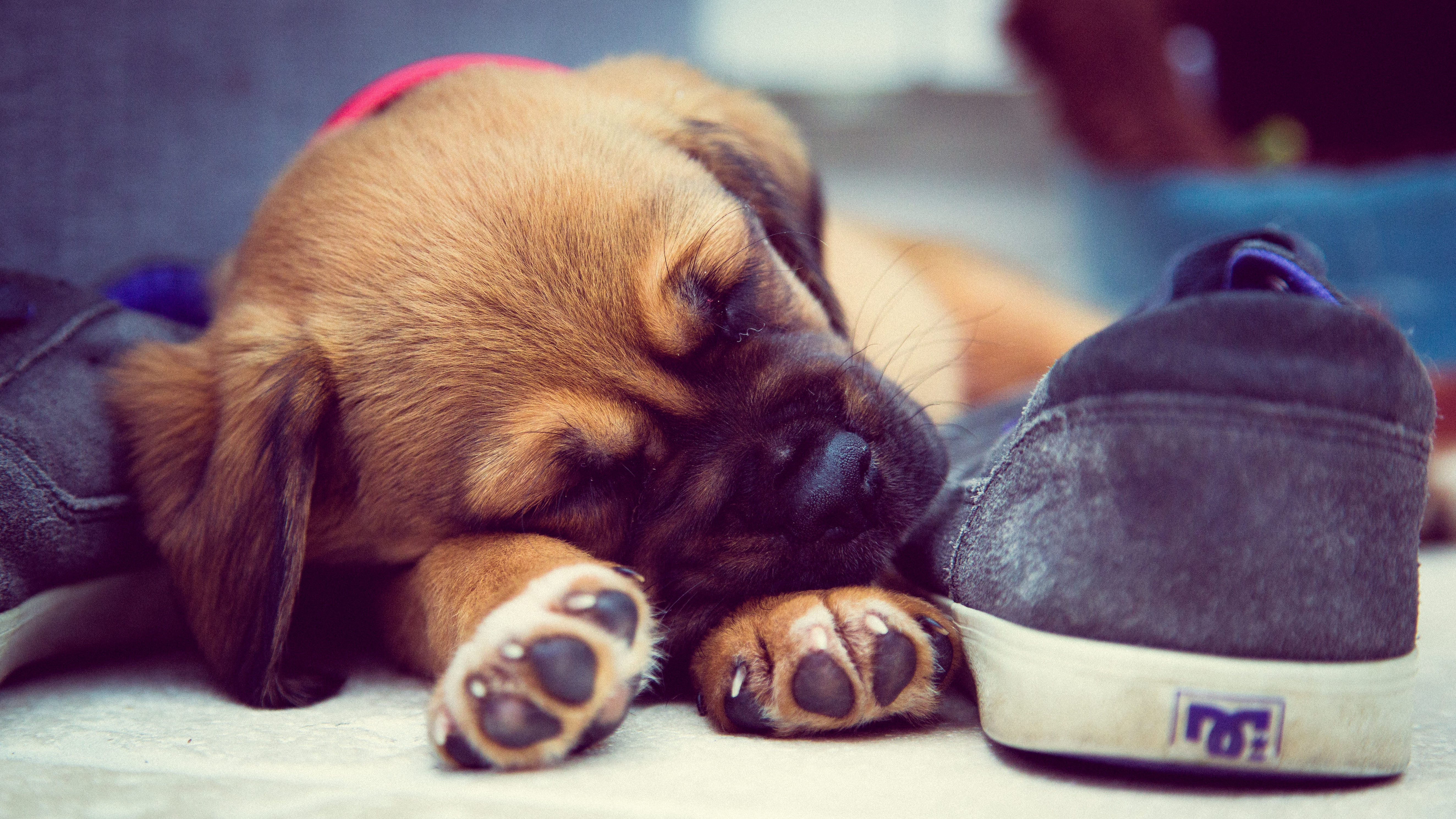Short-coated Brown Puppy Sleeping Beside Grey Dc Skate Shoe