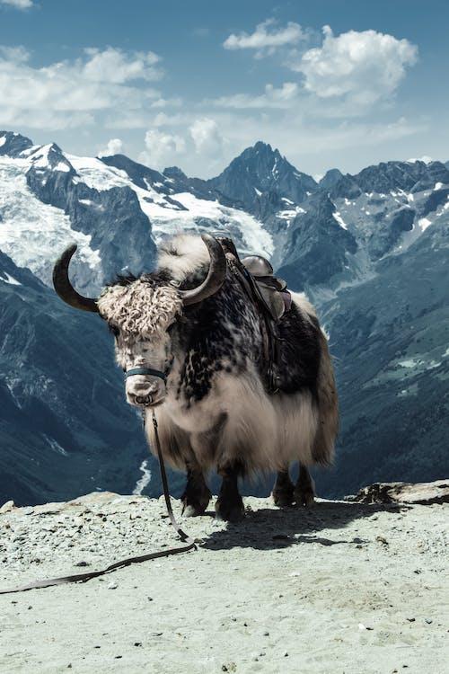 Brown Yak on Brown Rocky Mountain