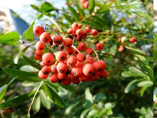 Бесплатное стоковое фото с красные ягоды, рябина, ягоды