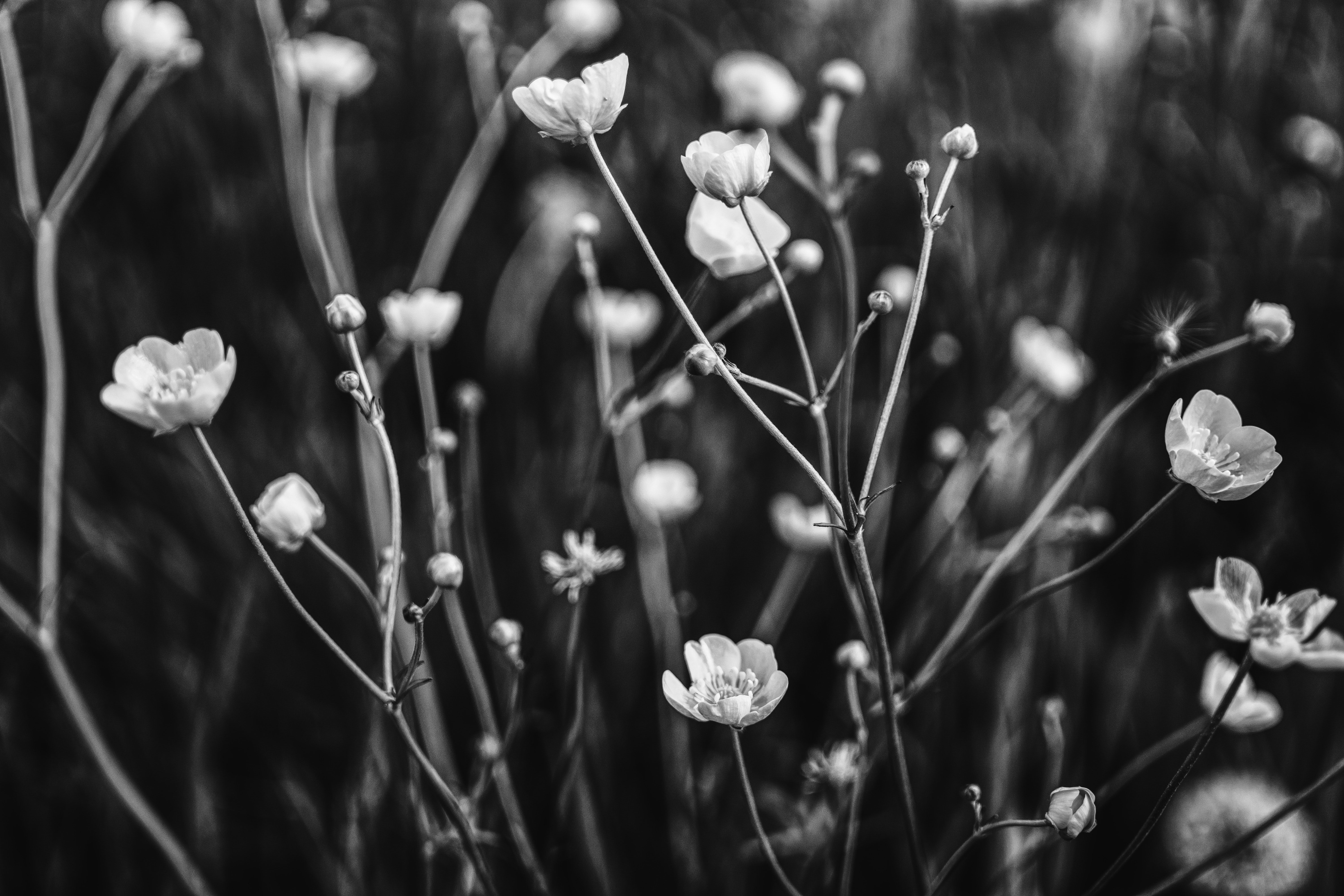 Grayscale Photo Of Flower Free Stock Photo