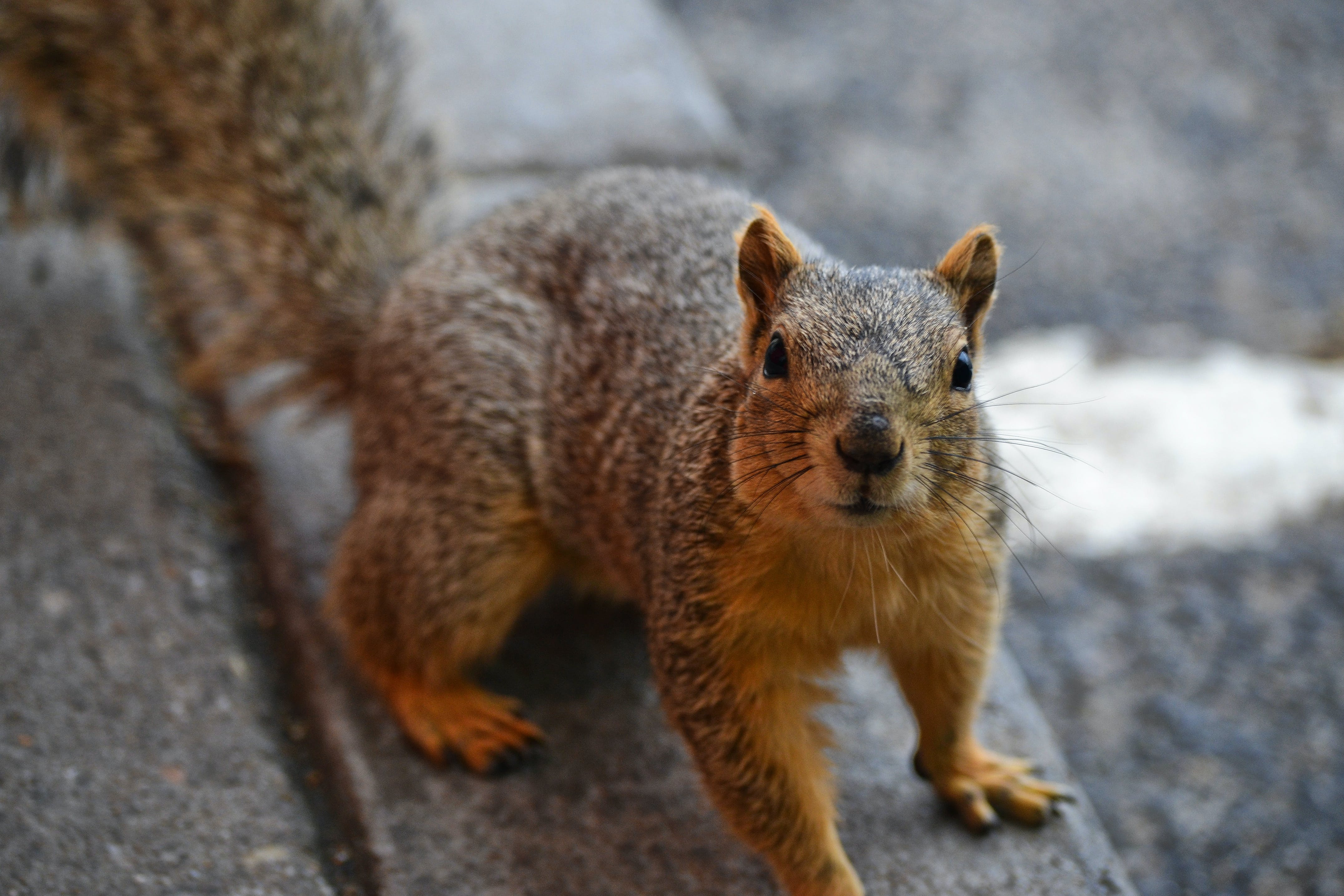 Close Up Photo of Brown Squirrel