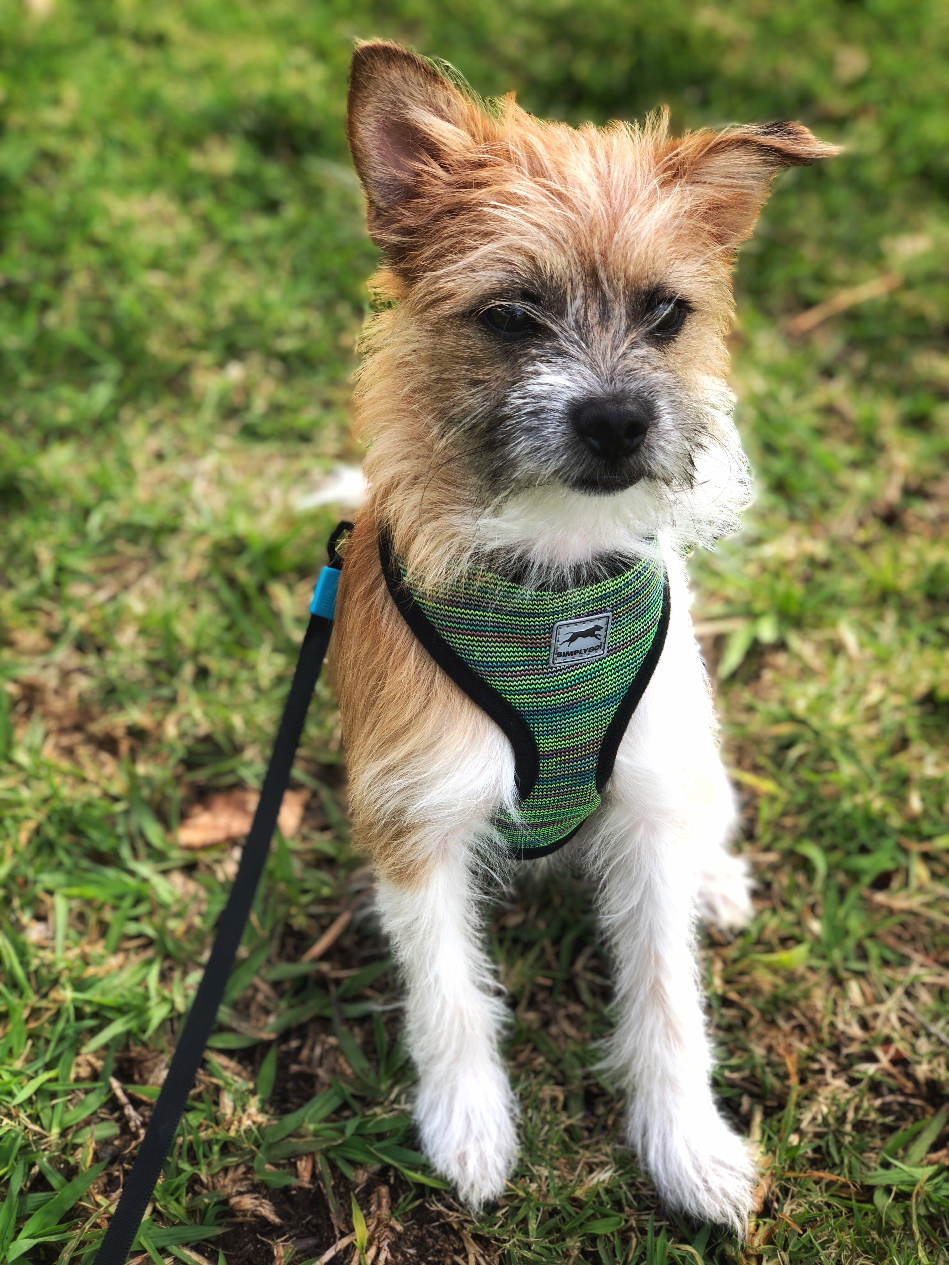Kostenloses Stock Foto zu #dog #animal #morkie #cute #grass #park #pet, #portrait #puppy #canine