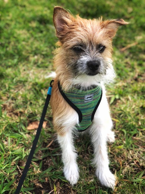 Fotobanka sbezplatnými fotkami na tému #dog #animal #morkie #cute #grass #park #pet, #portrait #puppy #canine