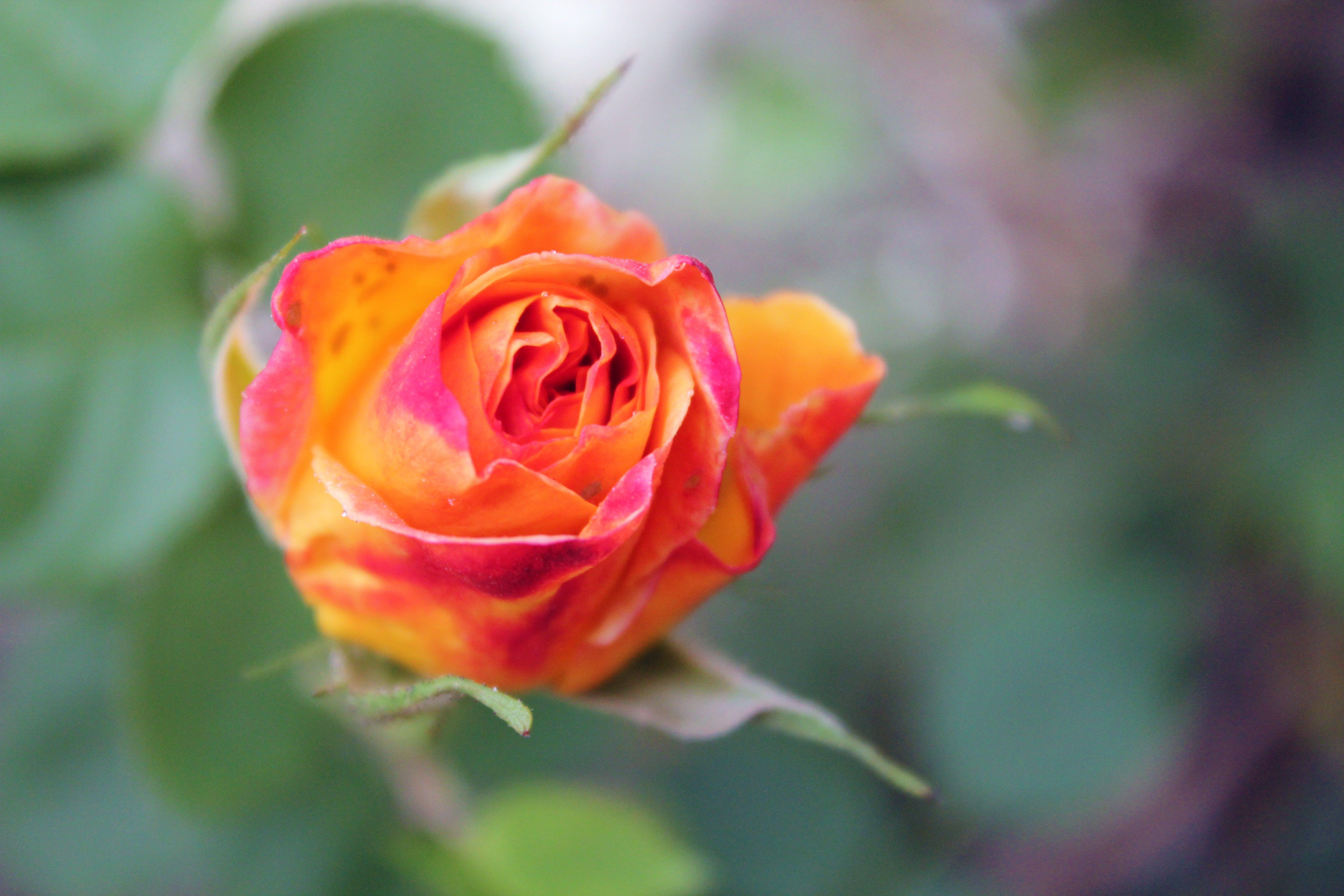 Free stock photo of Orange Rose