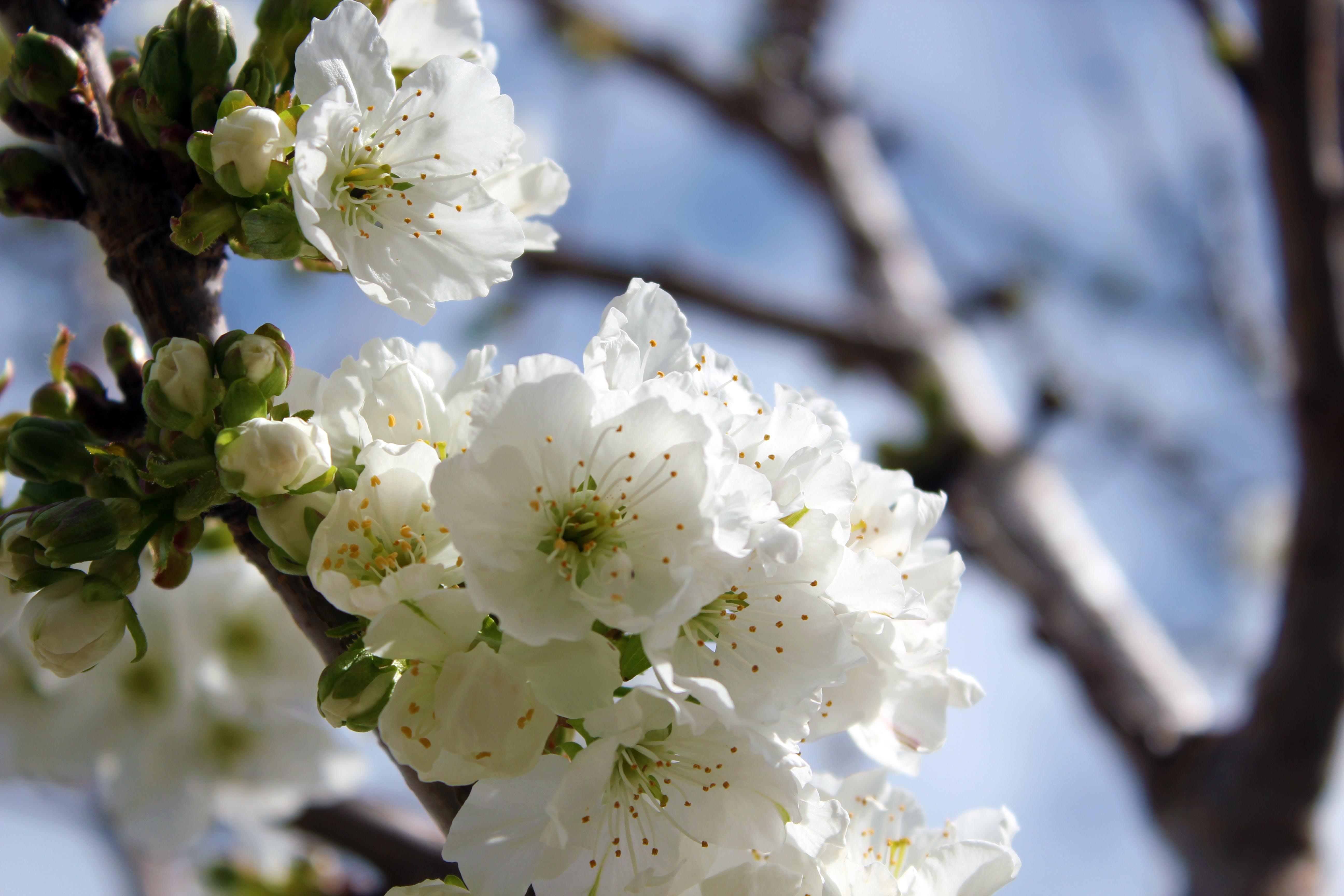 Free stock photo of cherry tree flowers, white flowers
