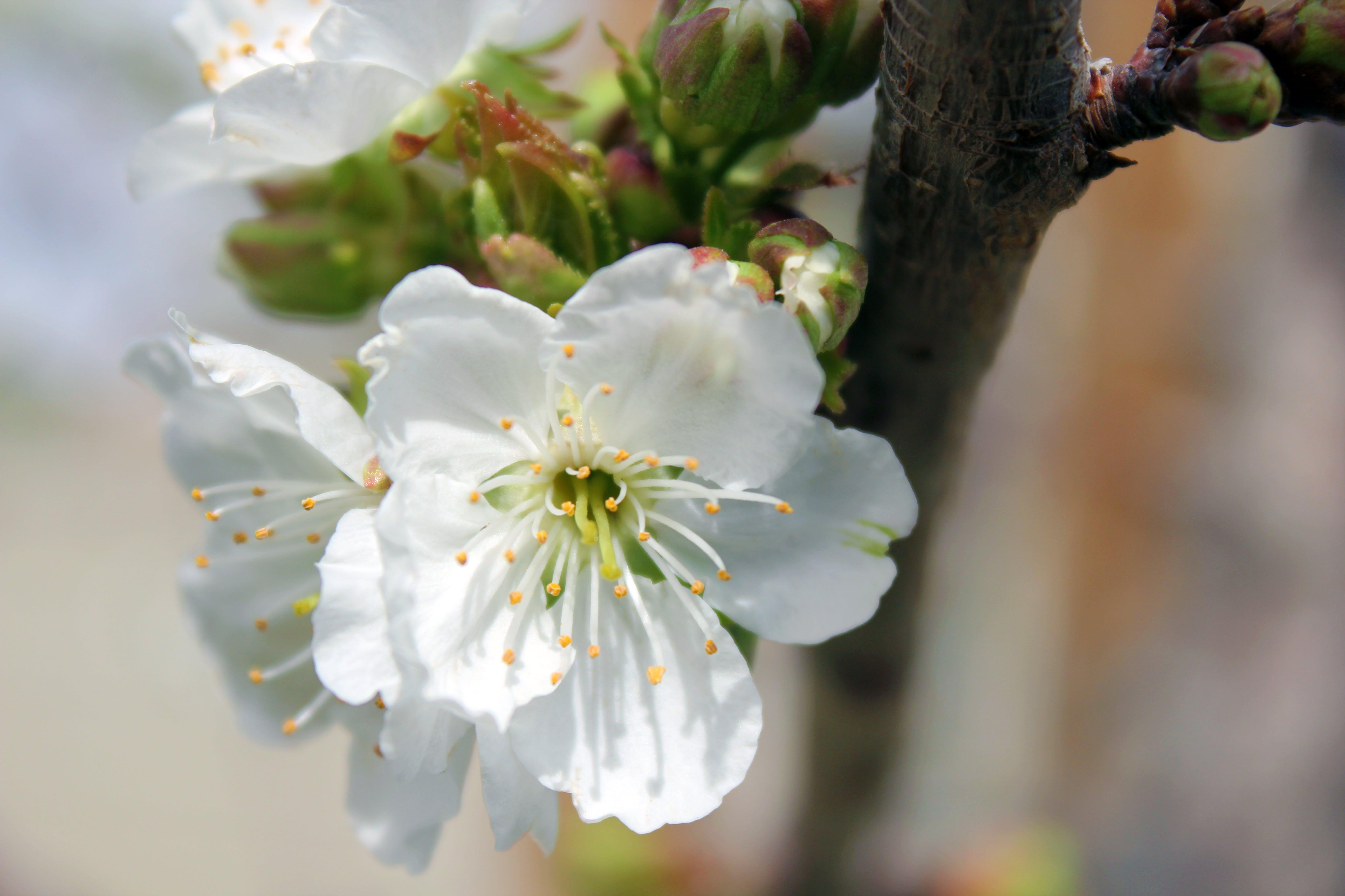 Free stock photo of white flowers, cherry tree flowers