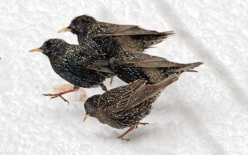 겨울, 눈, 눈 내리는, 달리는 starlings 그룹의 무료 스톡 사진