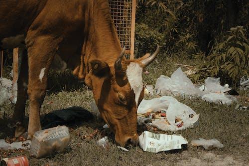 Základová fotografie zdarma na téma hnědá kráva