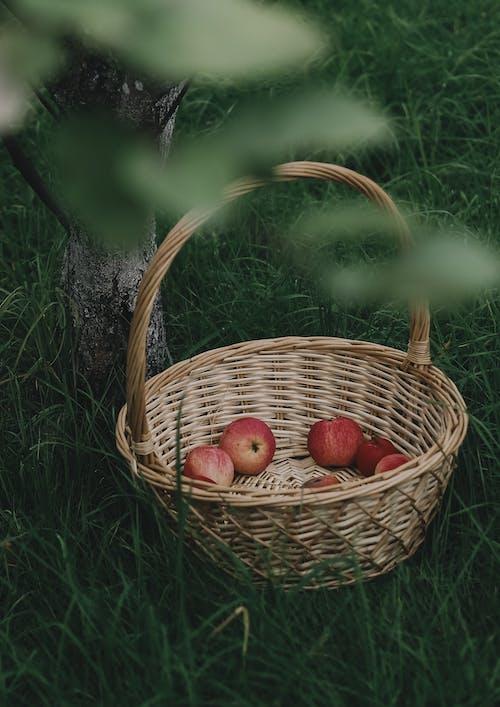 Kostenloses Stock Foto zu apfel, apple, bauernhof