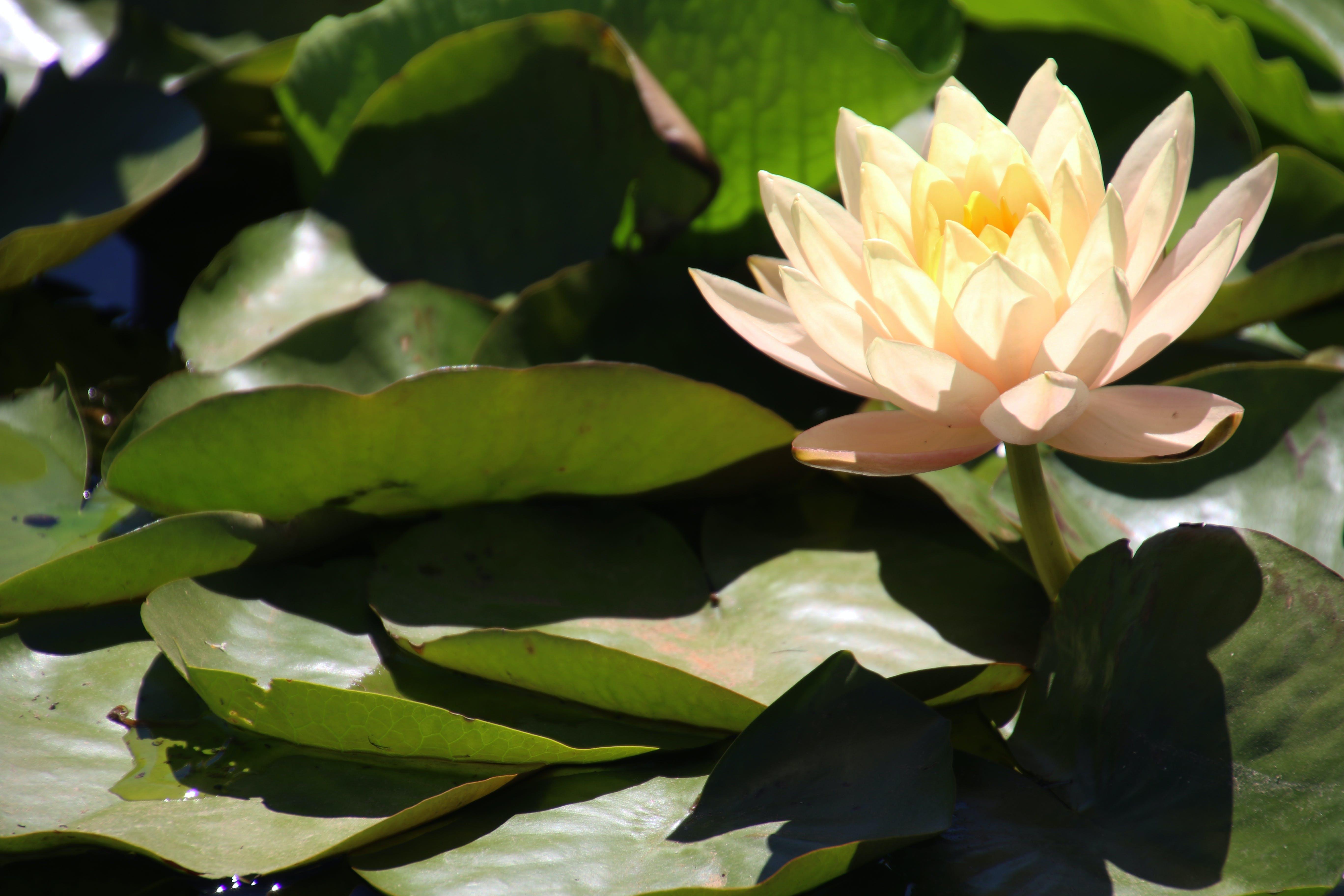 Free stock photo of nature, water, flowers, garden