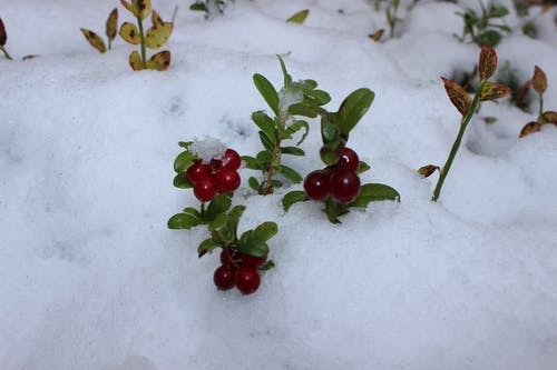 Free stock photo of berry, Lingonberry, winter