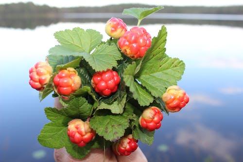 Free stock photo of cloudberry