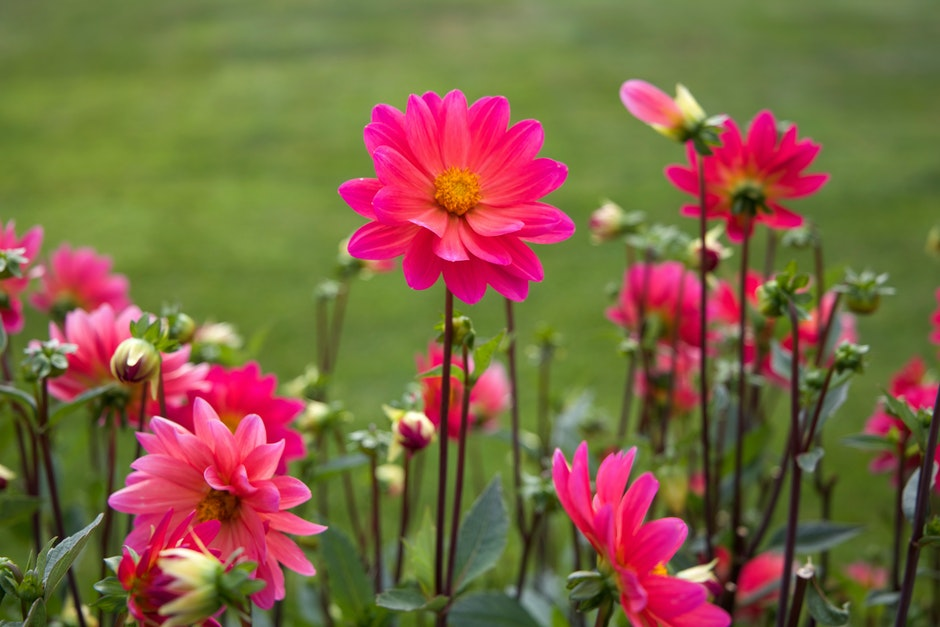 flowers, nature, pink