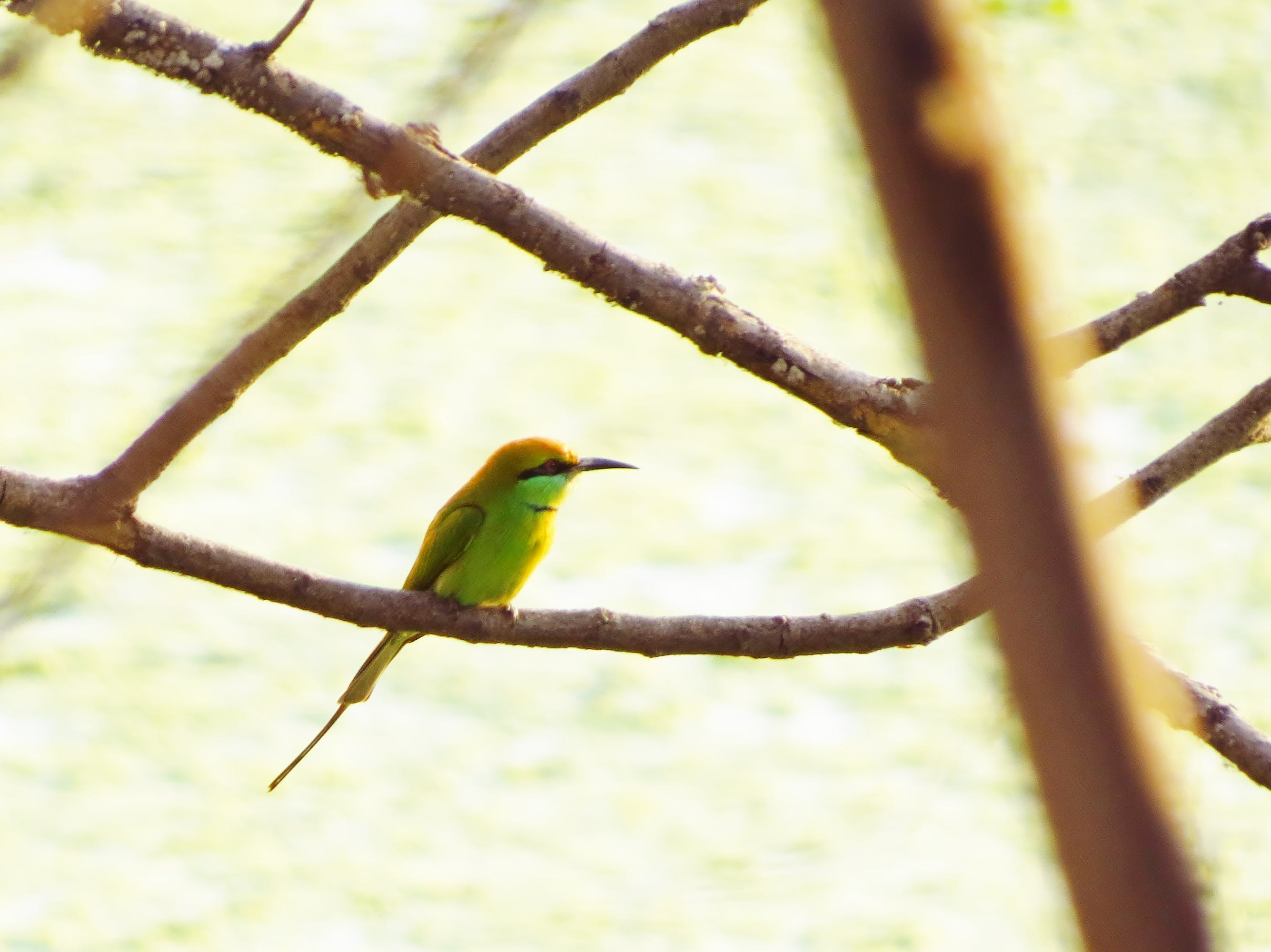 Free stock photo of bird, Green bee-eater
