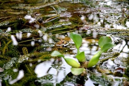 Fotobanka sbezplatnými fotkami na tému jazierko, príroda, voda, žaba