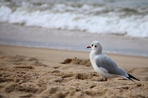 Free stock photo of atlantic, beach, bird