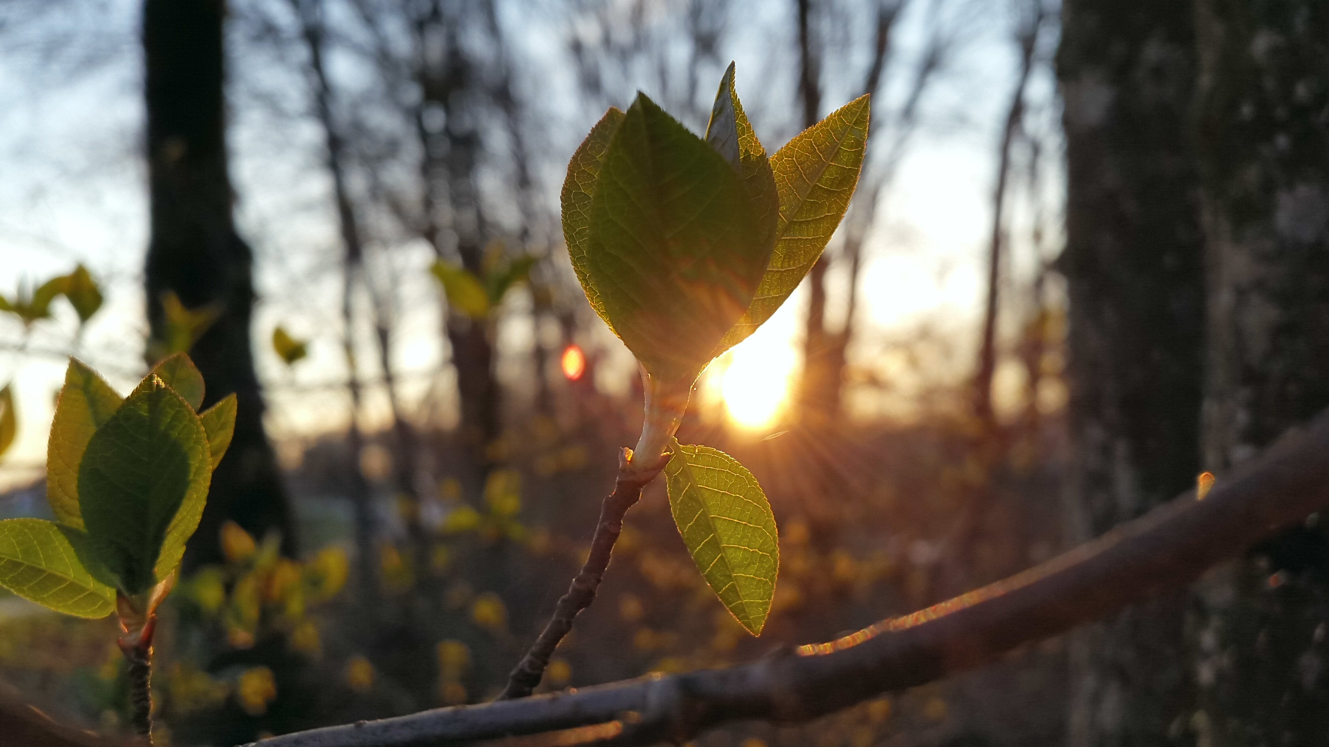 Free stock photo of branch, bud, first leaves, green