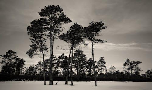 Бесплатное стоковое фото с деревья, лес, монохромный, окружающая среда