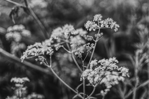 aegopodium podagraria, monochron, 天性, 宏觀 的 免費圖庫相片
