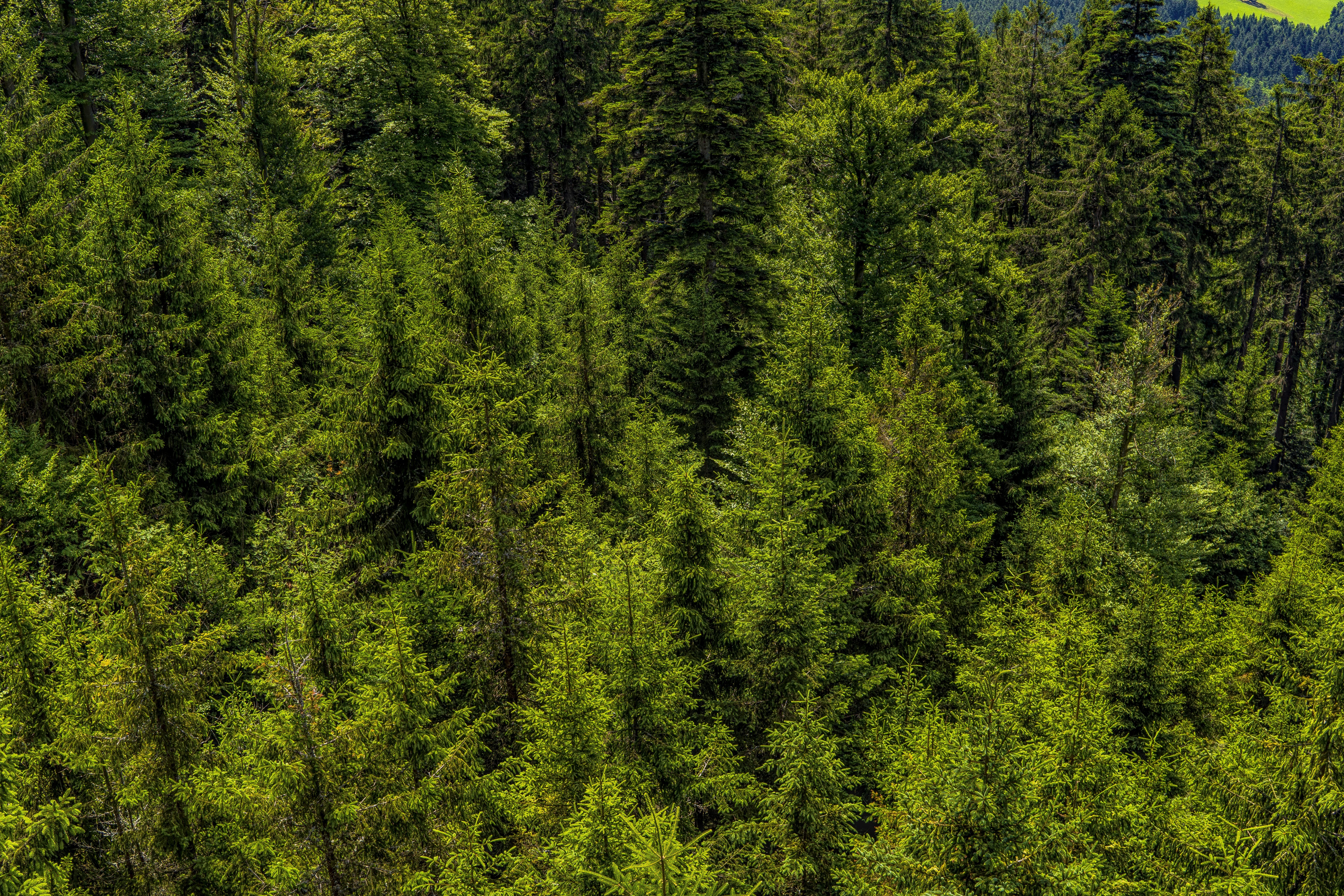 of bavarian forest, branch, branches, conifer