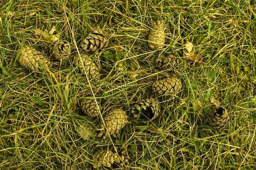 天性, 松果, 綠色, 草 的 免費圖庫相片