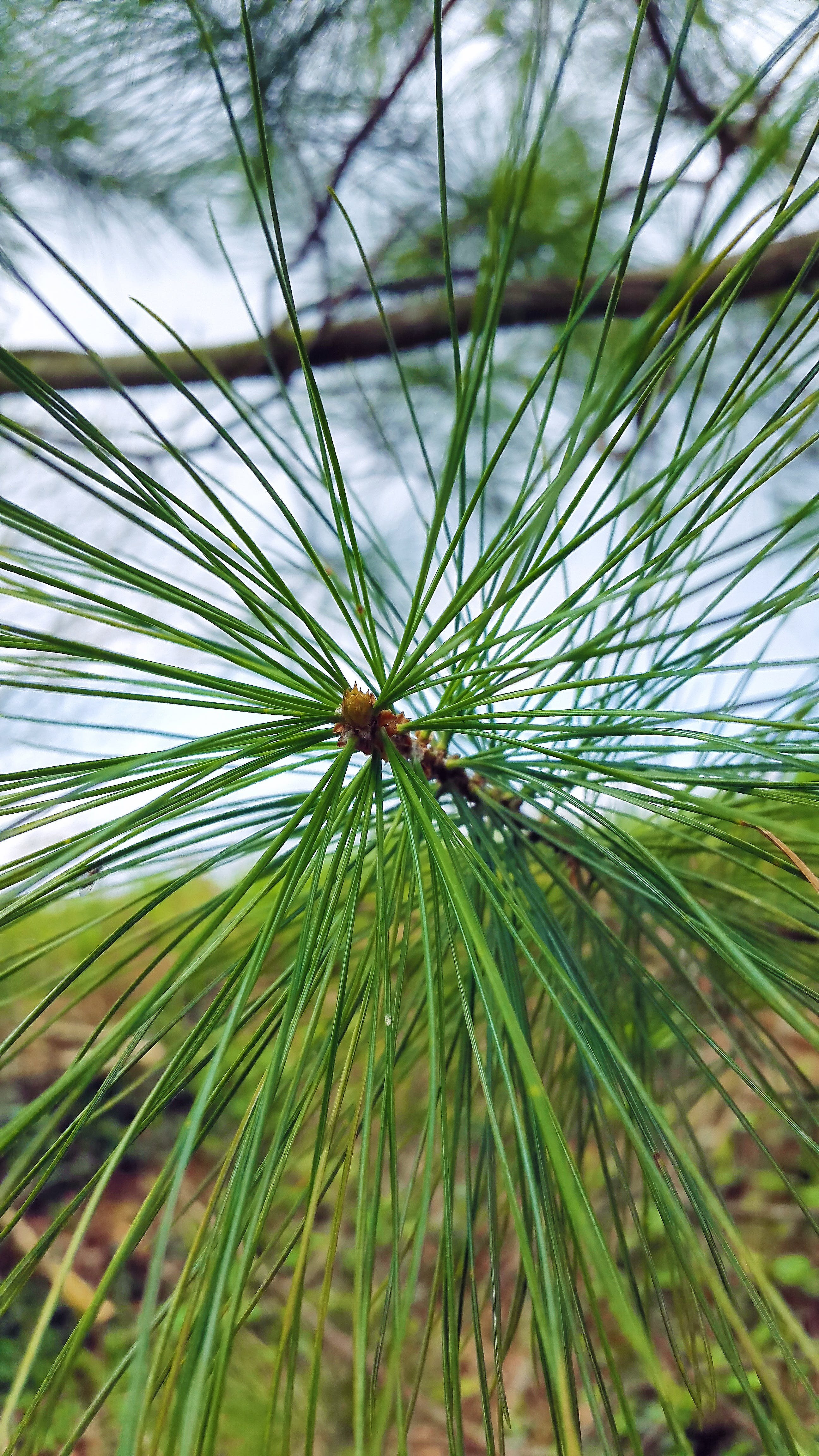 of branch, close, conifer, end