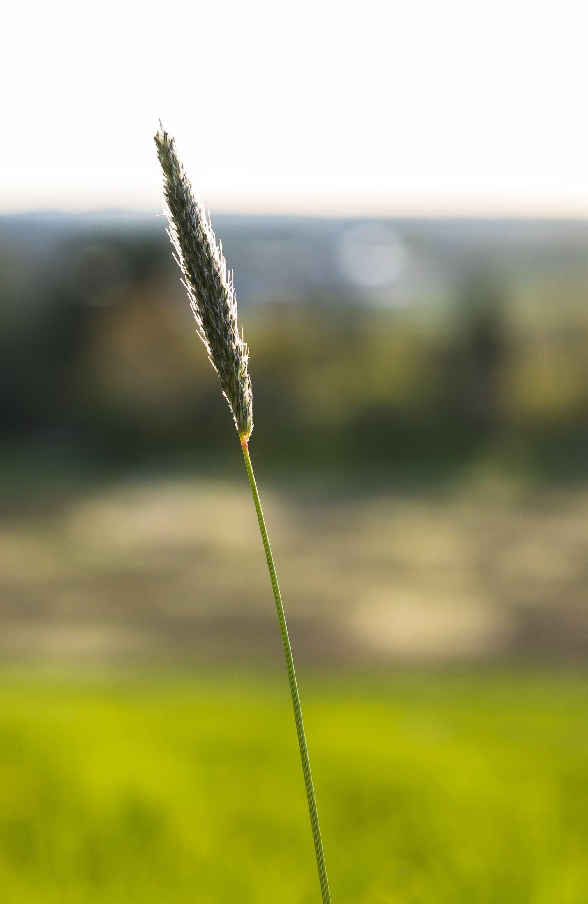 of blade of grass, close, grass, halme