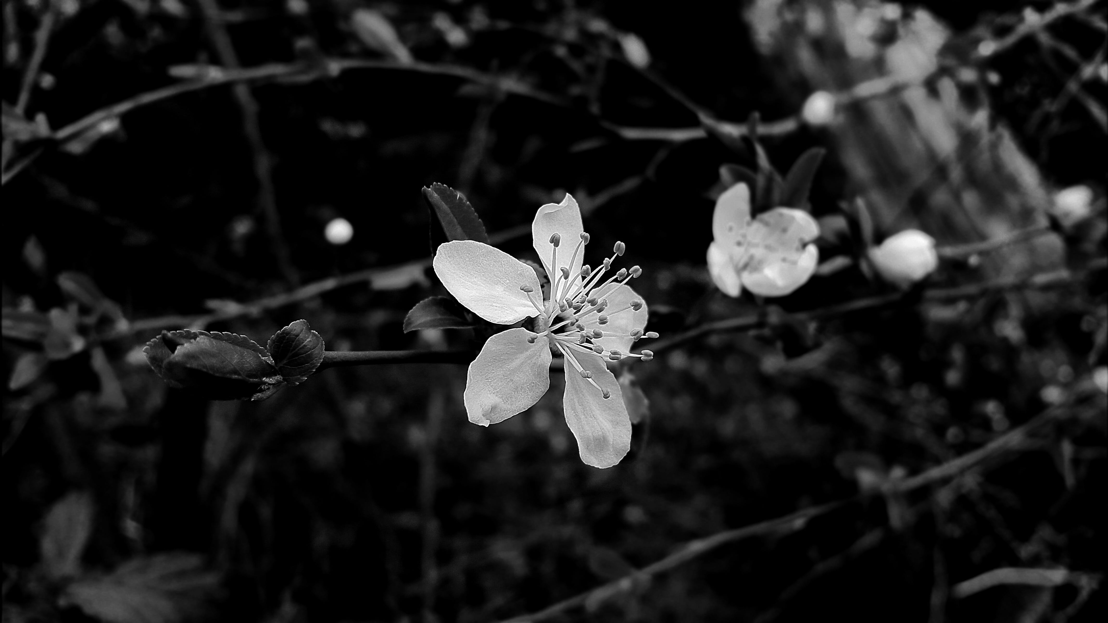 Free stock photo of black-and-white, bloom, blossom, cherry blossom