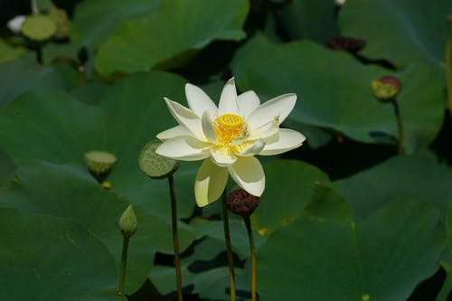 Close-Up Photo of a White Lotus Flower in Bloom