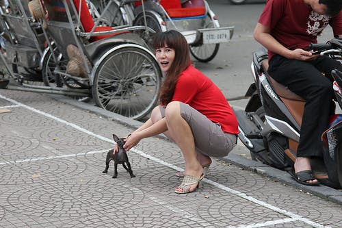 Free stock photo of chihuahua, dog, Hanoi, street