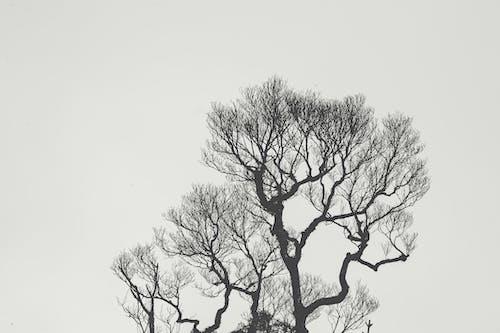 Foto profissional grátis de árvore, carvalho, delineado, filiais