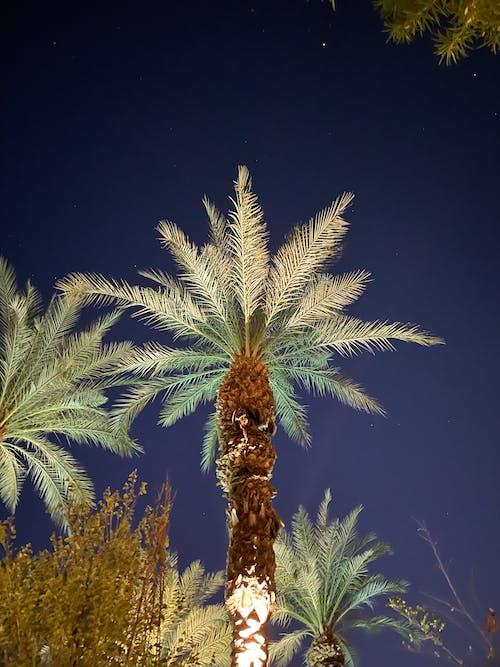 Free stock photo of night sky, palm desert, palm tree