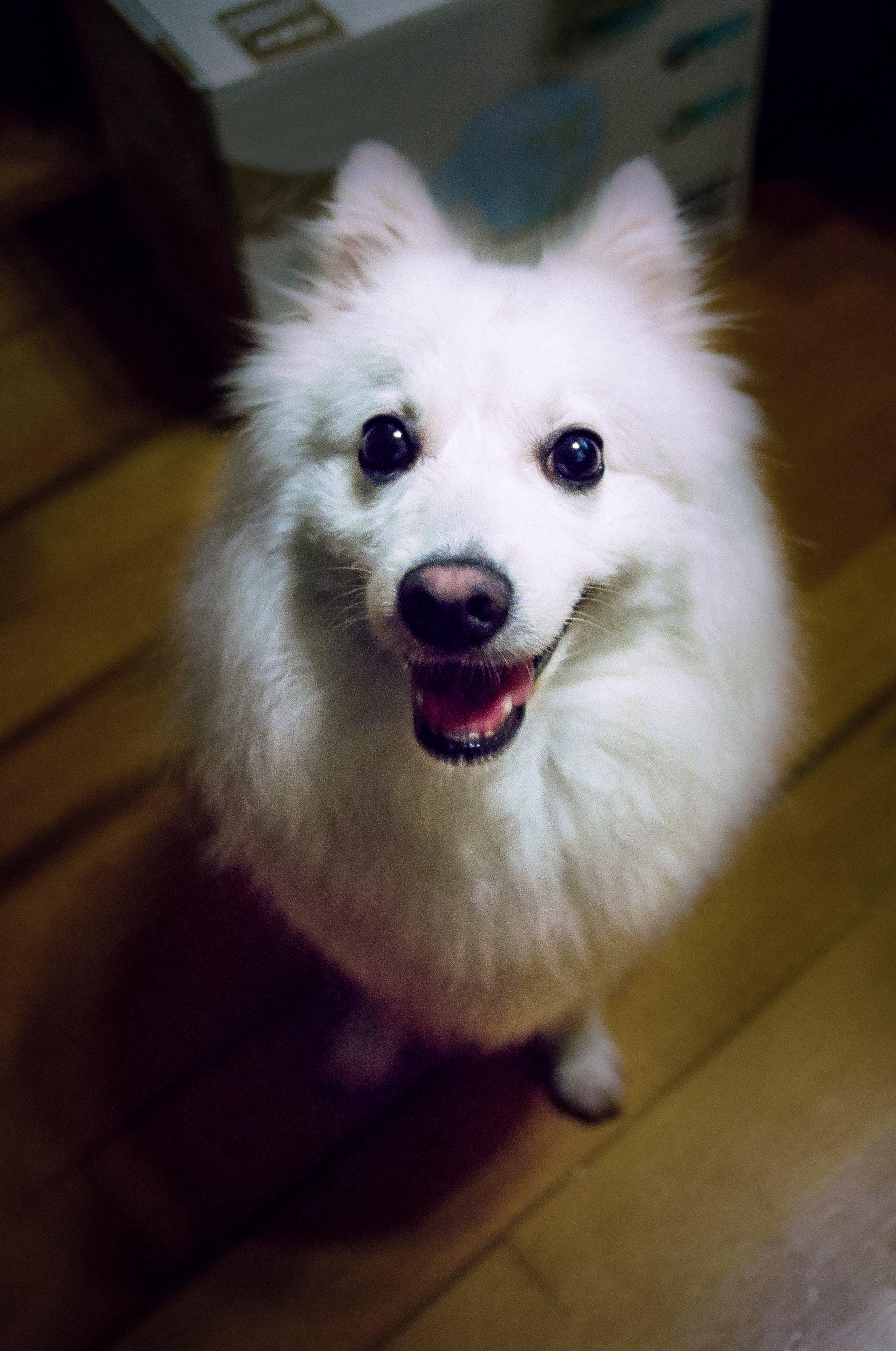 Free stock photo of animal, cute, dog, expectation