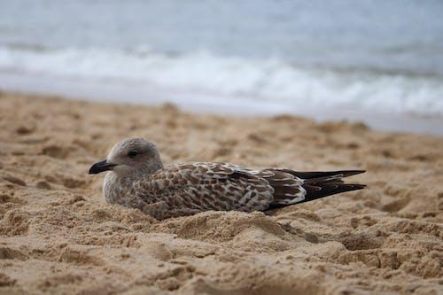 Free stock photo of animal, beach, brown