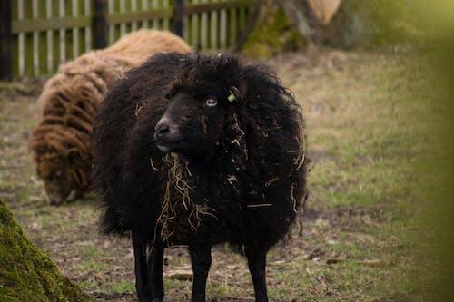 Gratis lagerfoto af får