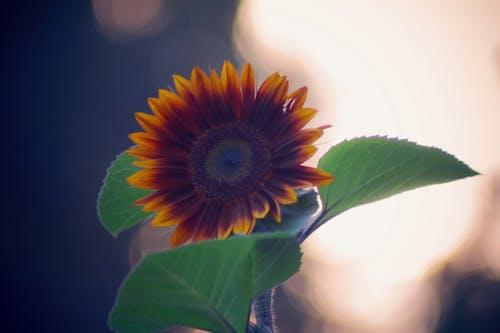 kırmızı ayçiçeği içeren Ücretsiz stok fotoğraf