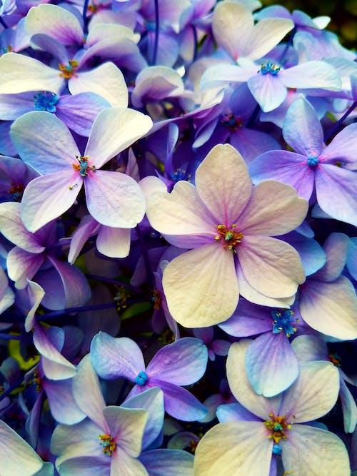 çalılar, Çiçekler, ortanca içeren Ücretsiz stok fotoğraf